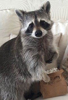 Pumpkin the Raccoon